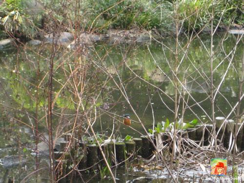 Common Kingfisher Bird