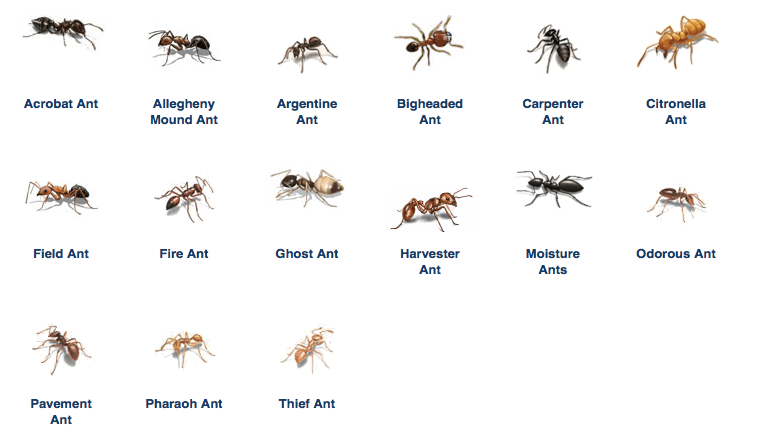 How to get rid of large ants in kitchen